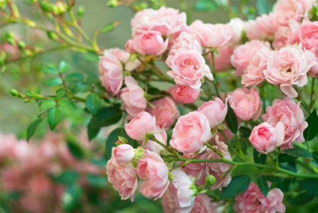 تفسير حلم زرع الورد - أنوثة