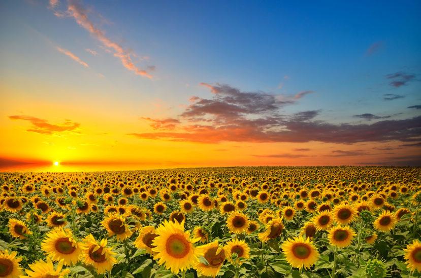 ما الذي تعنيه رؤية عباد الشمس في المنام؟